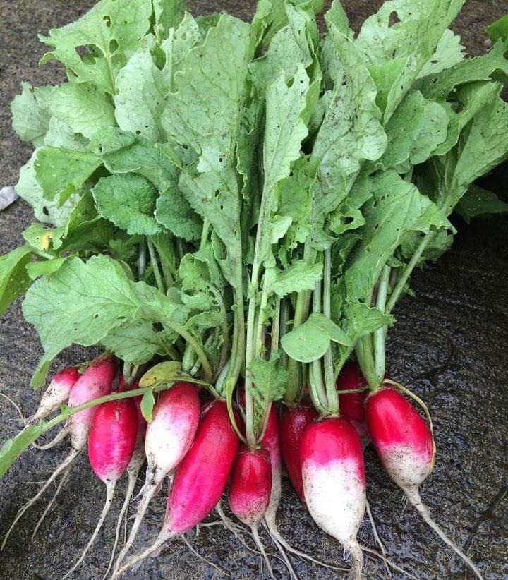 市民農園 収穫野菜 ラディッシュ